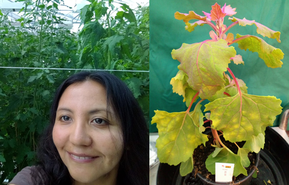 Pictures: Left: Carla Colque-Little in the greenhouse of UCPH in Taastrup. Right: A quinoa plant infected by downy mildew. Credit: Carla Colque-Little